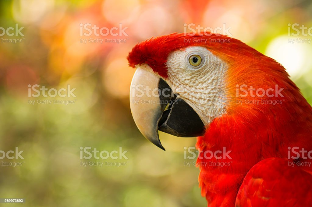 close up of costa rican scarlet macaw royalty-free stock photo