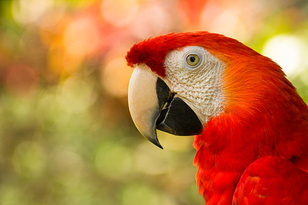 close up of costa rican scarlet macaw stock photo