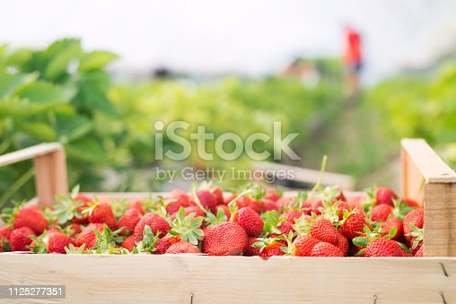 Close up of crate full of fresh strawberries in greenhouse.