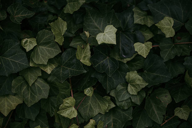 Close Up of Creeping Ivy Plant stock photo