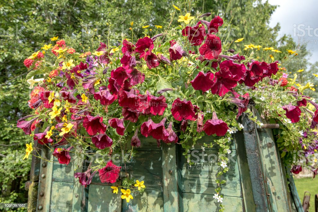 Close up of Crimson colored petunia flowers on back of wagon, with assorted mass of other colored flowers stock photo