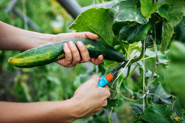 close up van komkommer wordt geoogst - komkommer stockfoto's en -beelden