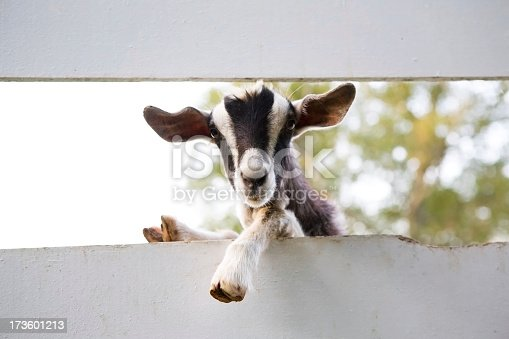 Black and white goat hangs over the fence to have a better look.