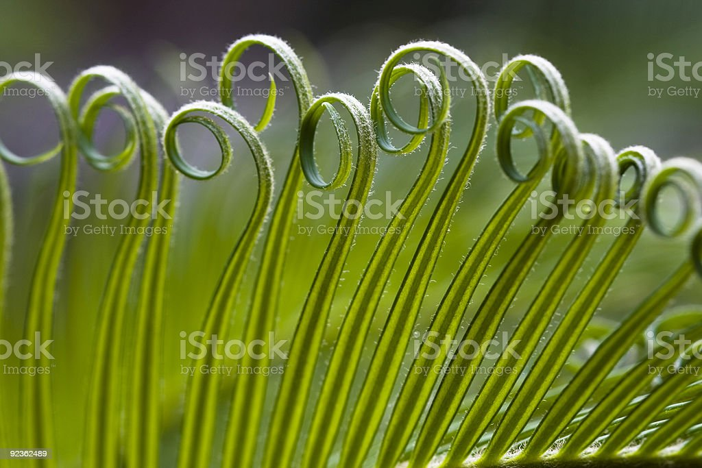 Close up of curly ends of Cycas leaf royalty-free stock photo