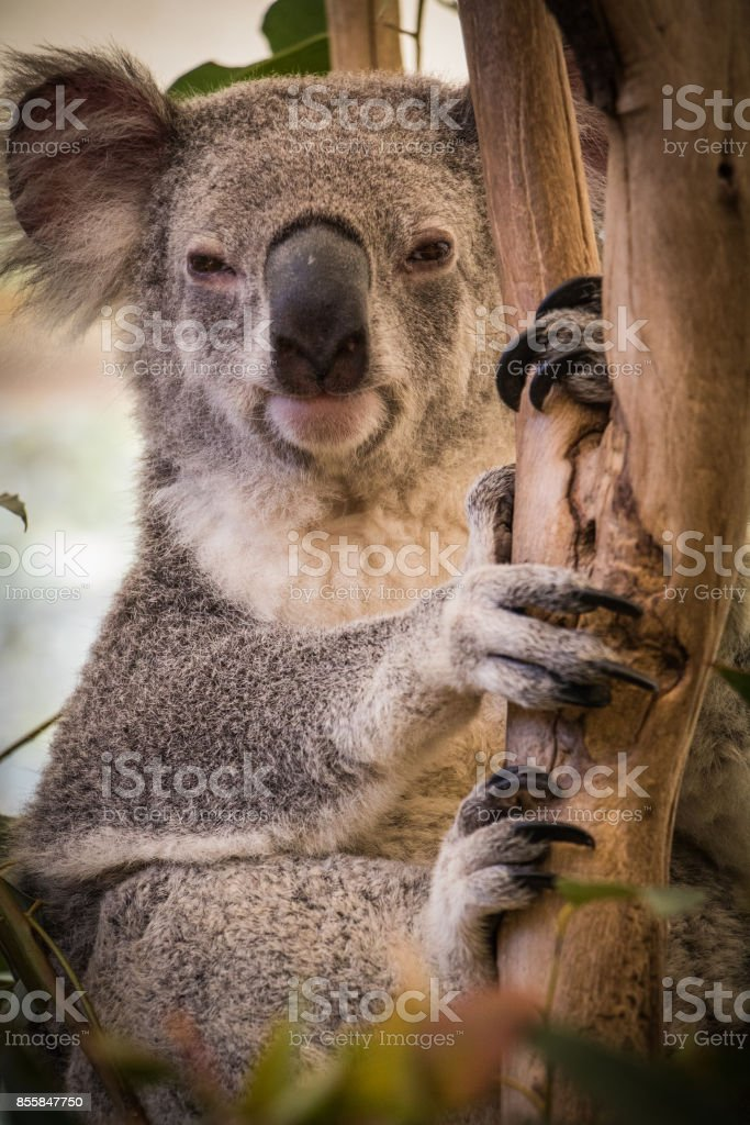 Close up of cute Koala holding branch. stock photo