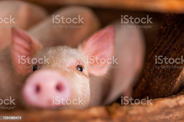 Close up of cute pink pig in wooden farm with black eyes looking in picture id1034365474?b=1&k=6&m=1034365474&s=612x612&h=p93h 2aygs0imf93sifsqdhb j1qqsr  n rjcfijbw=