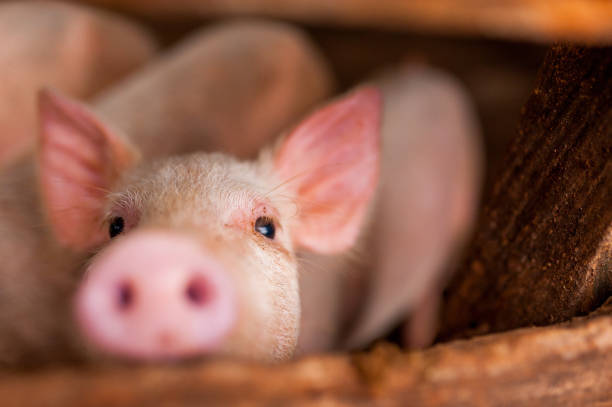 close up of cute pink pig in wooden farm with black eyes looking in camera close up of cute pink pig in wooden farm with black eyes looking in camera snout stock pictures, royalty-free photos & images