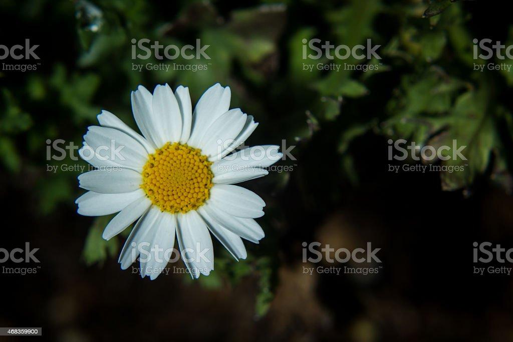 Close up of Daisy royalty-free stock photo