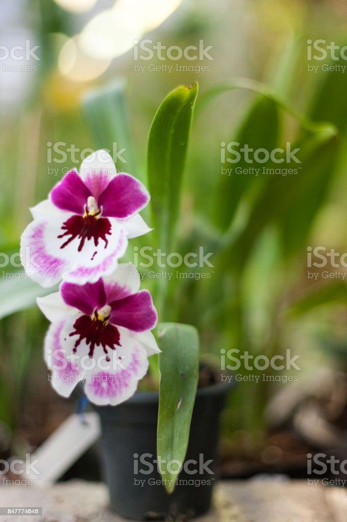 Close up of Dancing Lady orchid (Oncidium Varicosum, Oncidium Goldiana) stock photo