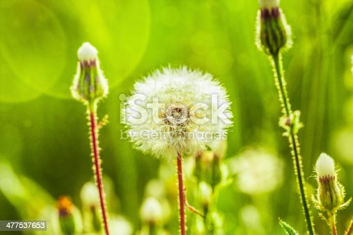 This is close up image of dandelion blow-balls in field. Image was shoot on sunny day. Focus is on foreground. Background is green. Bokeh was added.