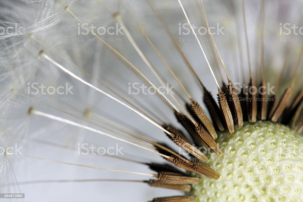 Close up of dandelion seed head stock photo