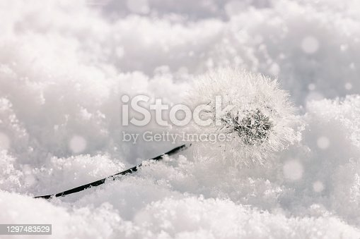 Close-up of fluffy dandelion seed heads in the snow in winter