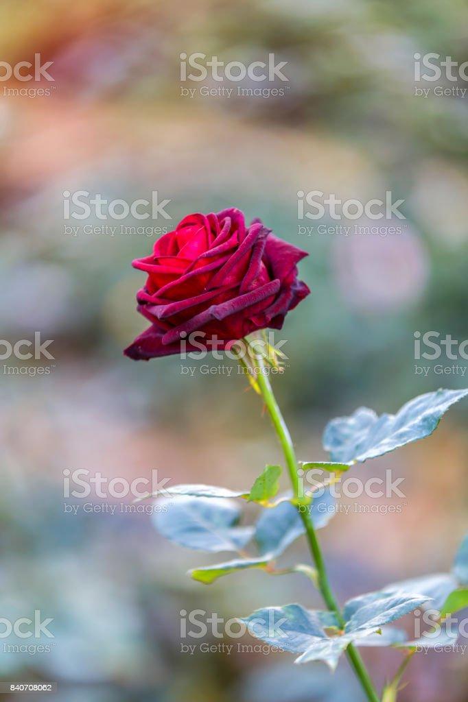 Rose dating in the dark