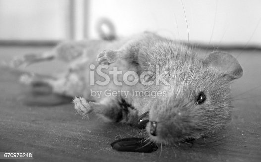 Close up of death mouse with blood out of its mouth