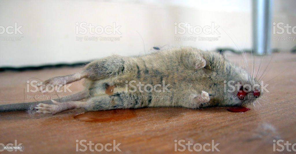 Close up of death mouse stock photo