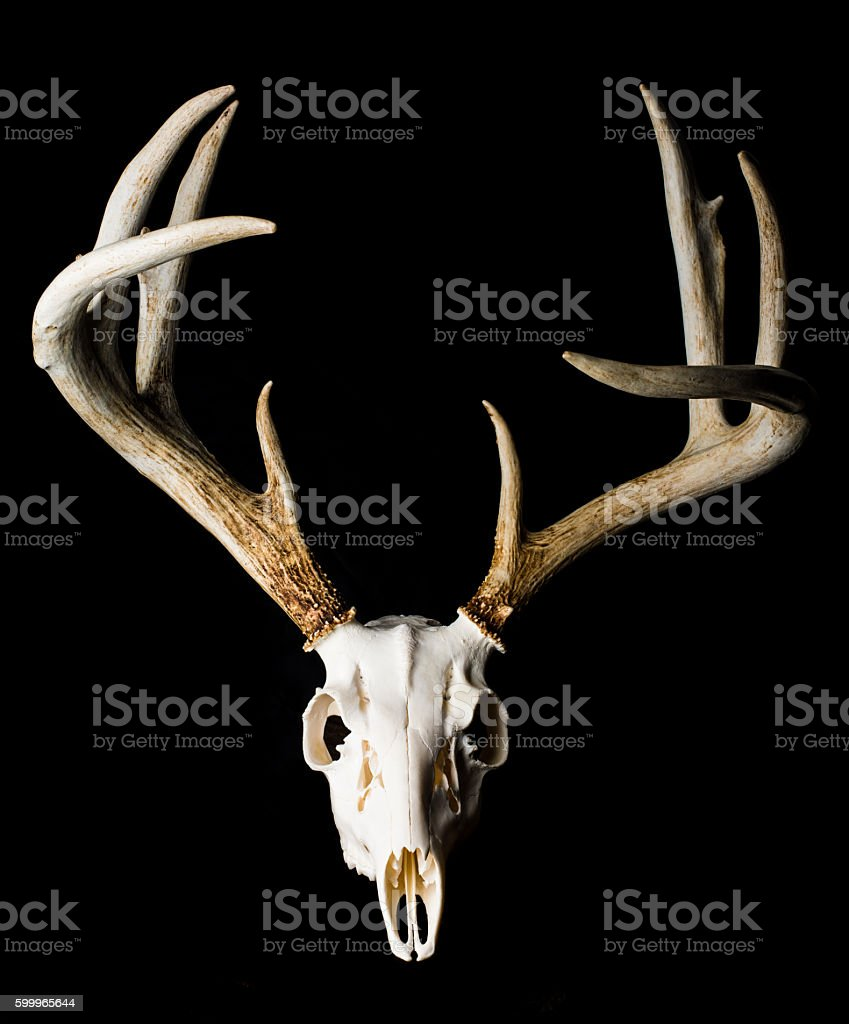 Close Up of Deer Skull on Black Background Front View stock photo