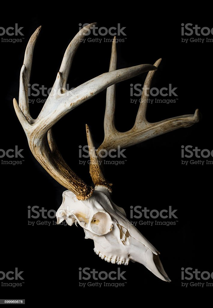 Close Up of Deer Skull on Black Background Side View stock photo