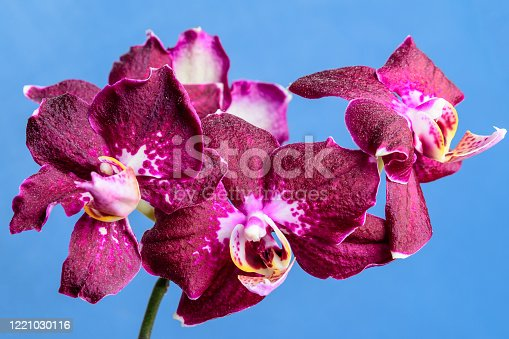 Close up of delicate vivid purple Phalaenopsis orchid flowers in full bloom isolated on light blue studio background