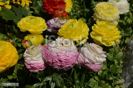 Close up of delicate yellow, white and pink flowers of Ranunculus repens plant commonly known as the creeping buttercup, creeping crowfoot or sitfast, in a garden in a sunny spring day, floral pattern
