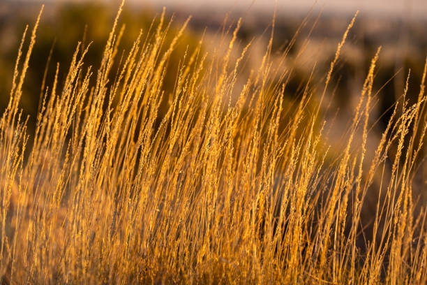 Close up of desert grass in central australian desert in the afternoon sun stock photo
