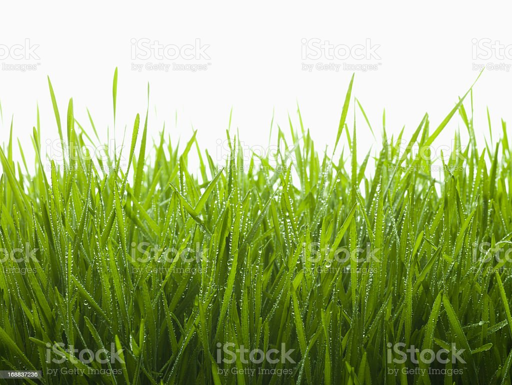 Close up of dew droplets on grass stock photo
