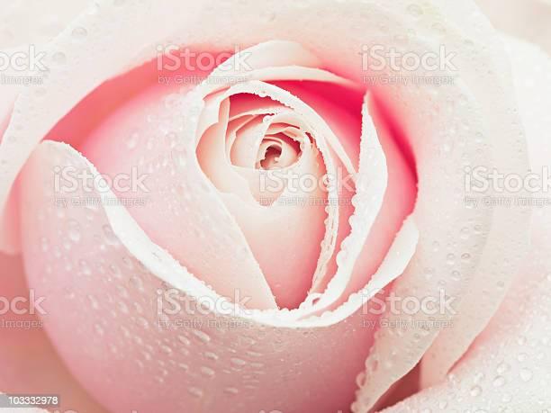 Close up of dew droplets on pink rose picture id103332978?b=1&k=6&m=103332978&s=612x612&h=lvirmaq1phj0s0hayg82etf1vvbpdwgjkd5io4r 6fy=