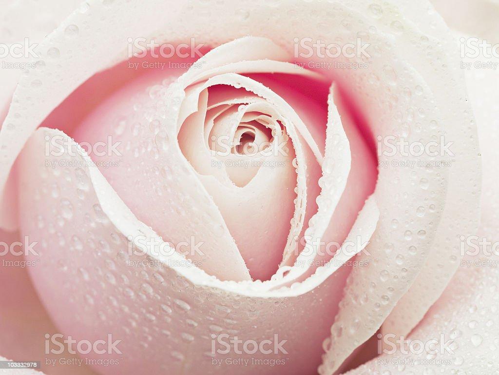 Gros plan de gouttelettes de rosée sur pink rose - Photo