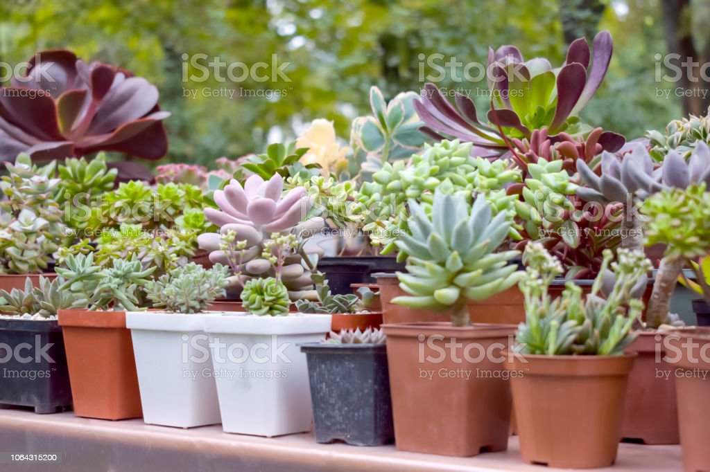 Close Up Of Different Varietal Agave Succulent Plants In Pots