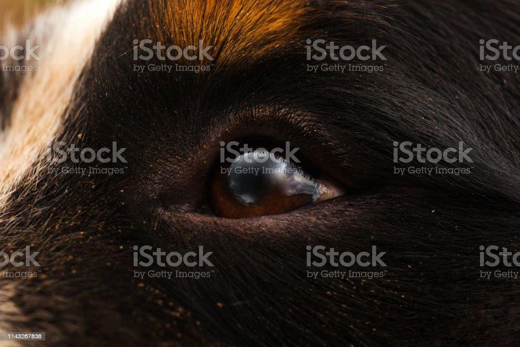 Close up view at dog eye, Bernese Mountain Dog