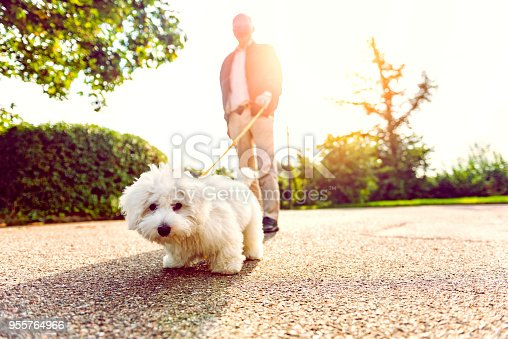 Close up photo of a dog which is the breed coton du tulear. A man blurred out in the background holds on to a pet leash. The sun shines as they walk together.