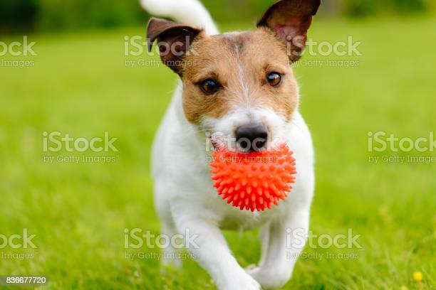 Close up of dog running and playing fetch with orange ball toy picture id836677720?b=1&k=6&m=836677720&s=612x612&h=qgzln9toylv7u irtzhxdiueidcy lyz2bedhqs8la8=