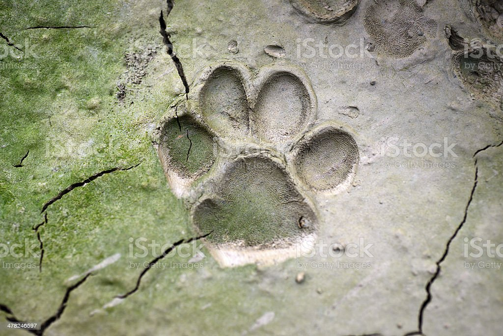 close up of dog  track on mud stock photo