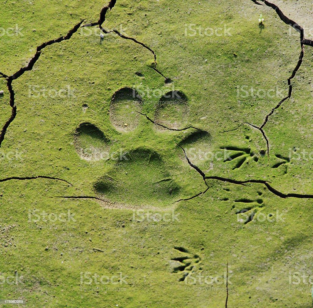 close up of dog  track on mud royalty-free stock photo