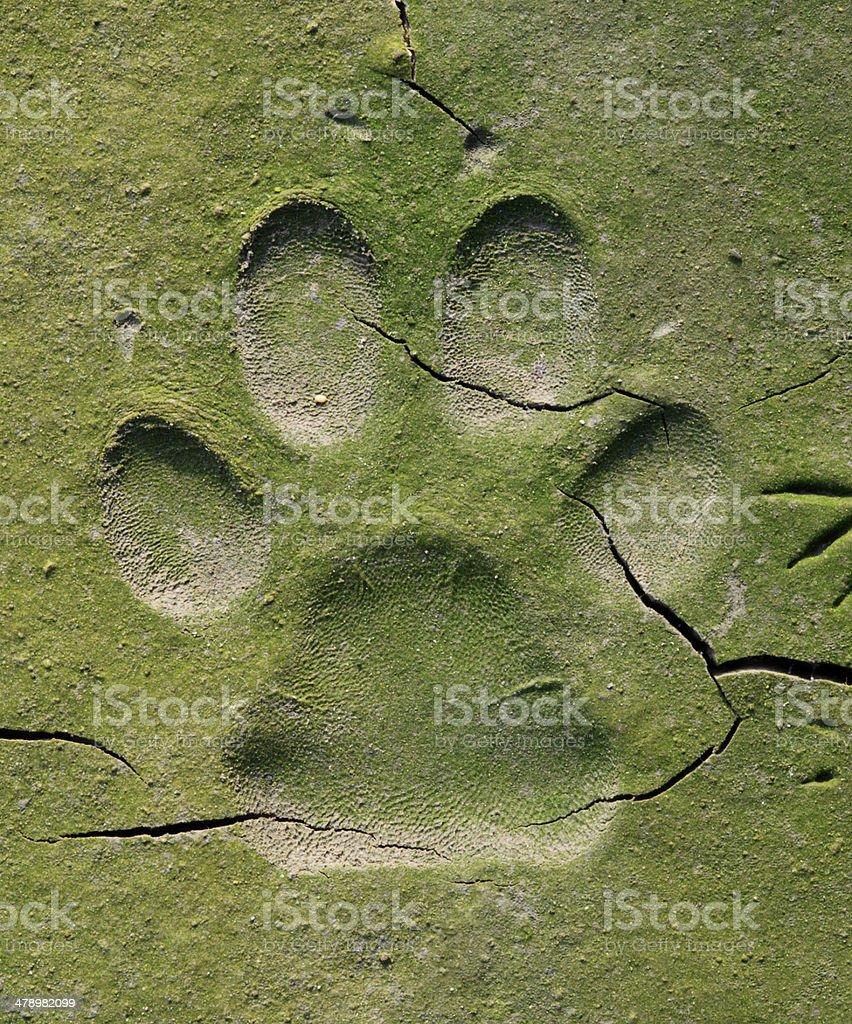 close up of dog  track on mud stock photo