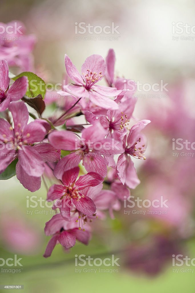 Close Up of Dogwood Tree Flowers In Spring stock photo