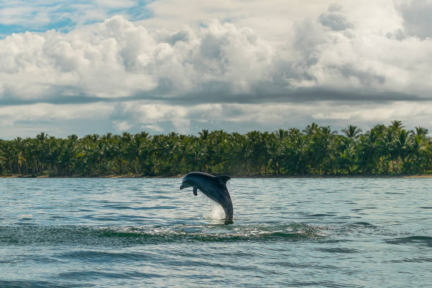 Close up of dolphin jumping out of sea water in beautiful sunny day with clouds and palm trees in background. Samana bay in Dominican Republic. stock photo