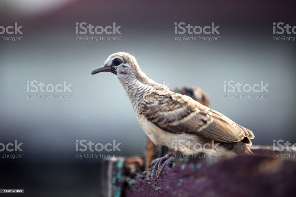 close up of dove on wooden edge stock photo