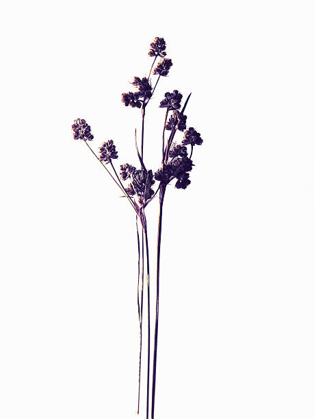 Close up of dried flower specimen  dried plant stock pictures, royalty-free photos & images