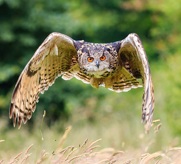 close up of eagle owl over a field - hawk bird stock photos and pictures