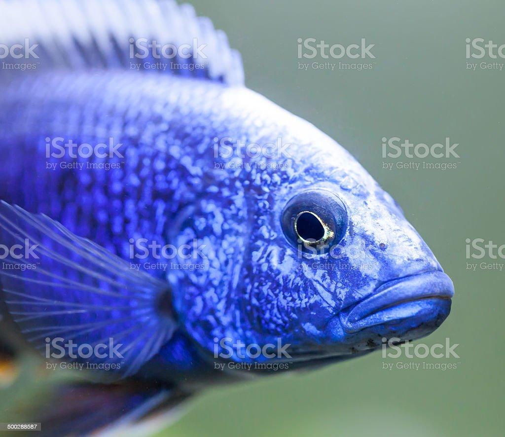 Close up of Electric Blue Hap (Sciaenochromis ahli) Cichlid stock photo