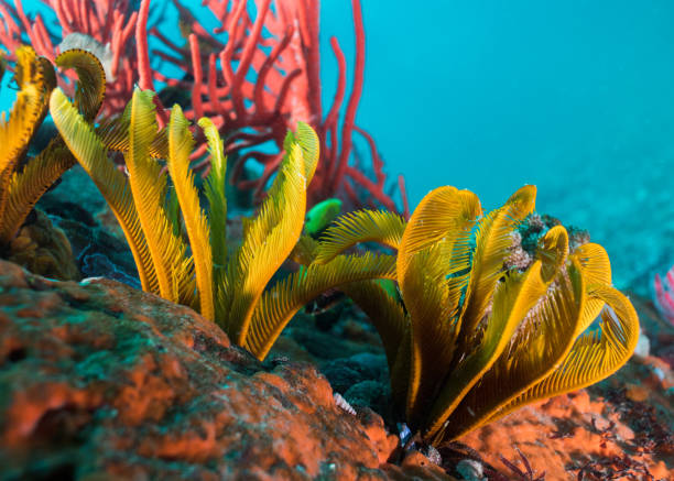 Close up of Elegant Feather stars (Tropiometra carinata) on the reef. stock photo