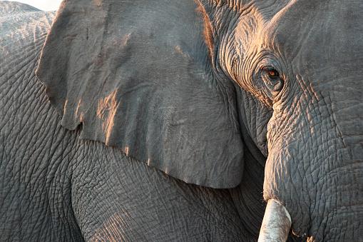 Close up view of partial face, African elephant (Loxodonta africana), world's largest land animal, Etosha National Park, Namibia, Africa