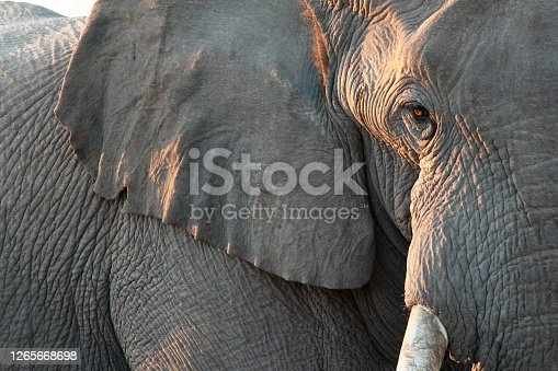 Close up view of partial face, African elephant (Loxodonta africana), world's largest land animal, Etosha National Park, Namibia, Africa