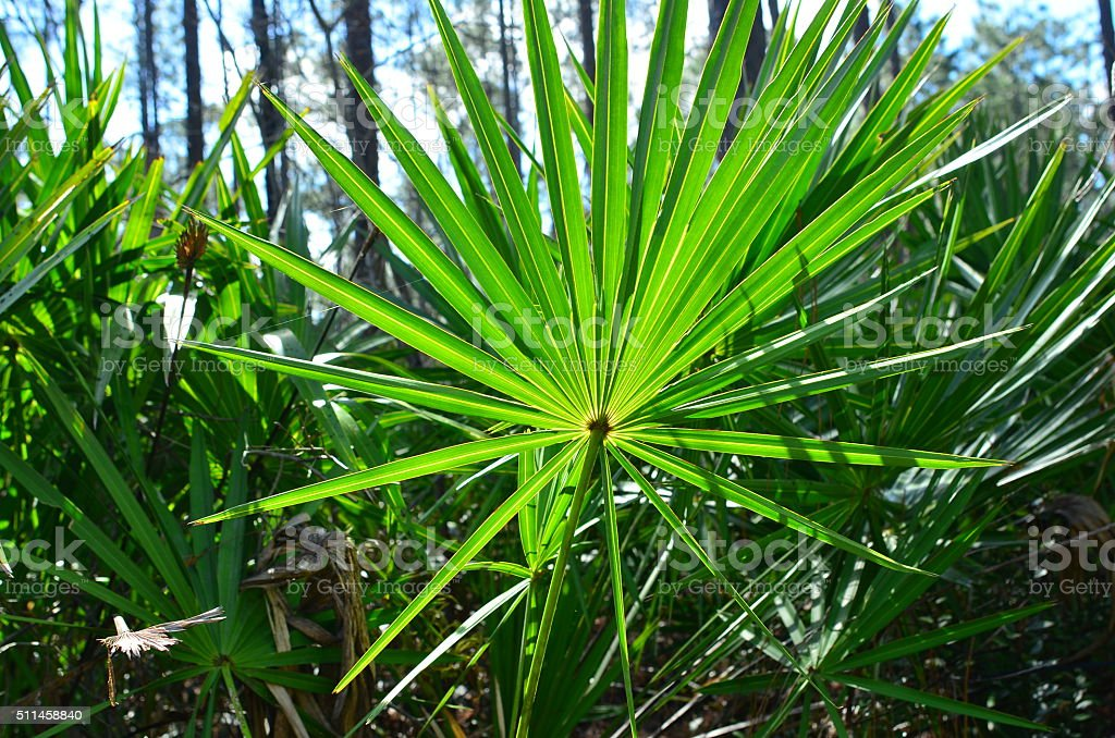 Close up of entire backlit Saw Palmetto frond in forest stock photo