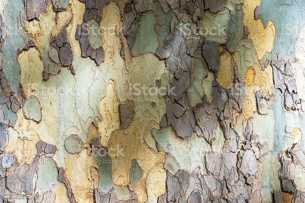 Close up of eucalyptus tree trunk texture stock photo