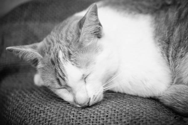 thai Katze Gesicht Nahaufnahme – Foto