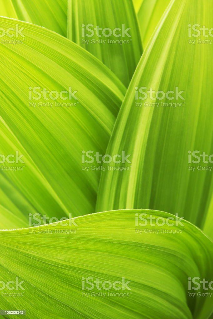 Close -up of False Hellebore Veratrum Viride plant leaves stock photo