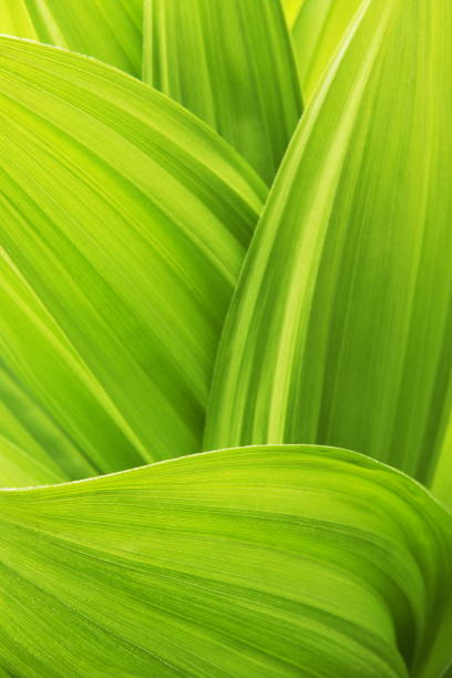 Close -up of False Hellebore Veratrum Viride plant leaves stock photo