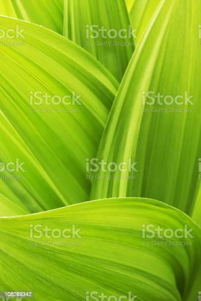 Photo of Close -up of False Hellebore Veratrum Viride plant leaves