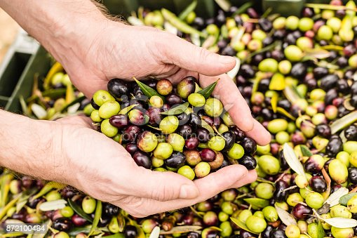 istock Close up of farmer holding harvested olives 872100464
